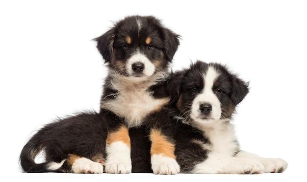 白い背景に、別の上に横たわるオーストラリアンシェパードの子犬
