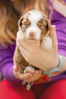 Australian shepherd puppy newborn puppy puppy in the hands cute little puppy