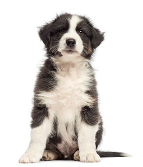 Australian shepherd puppy sitting and looking up