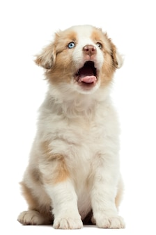 Australian shepherd puppy, sitting and yawning against white background