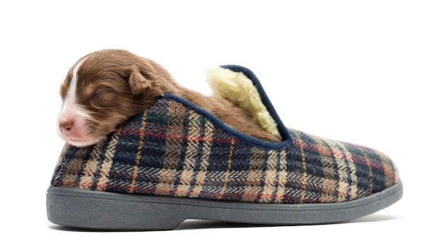 Australian shepherd puppy sleeping in a slipper, against white background