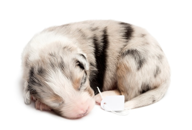 Australian shepherd puppy sleeping with price tag against white background