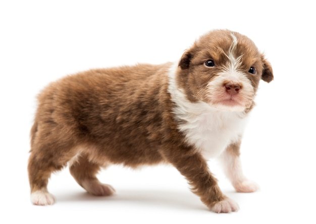 Australian shepherd puppy, standing with an angry look against white background