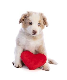 白い孤立したバレンタインデーの赤いハートとオーストラリアンシェパードの子犬