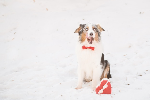 Australian shepherd in red bow tie with heart gift box in forest. valentine. high quality photo