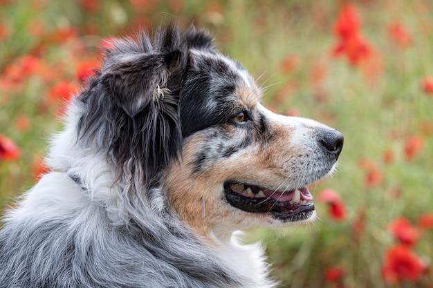 Australian shepherd resting in a field of poppies
