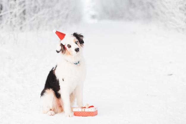Australian shepherd in santa hat sitting in winter forest with gift
