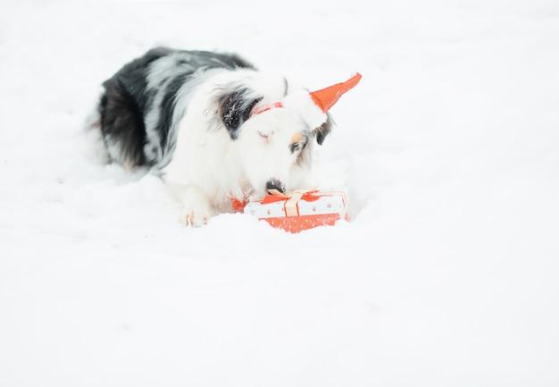 Australian shepherd in santa hat in winter forest open gift