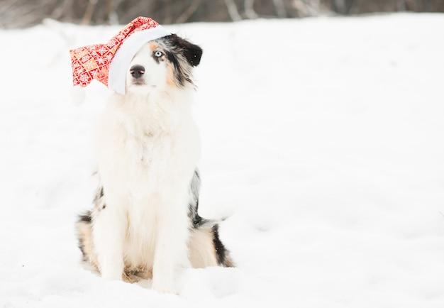 Australian shepherd in santa hat in winter forest