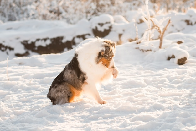 Australian shepherd sitting and give paw in winter forest
