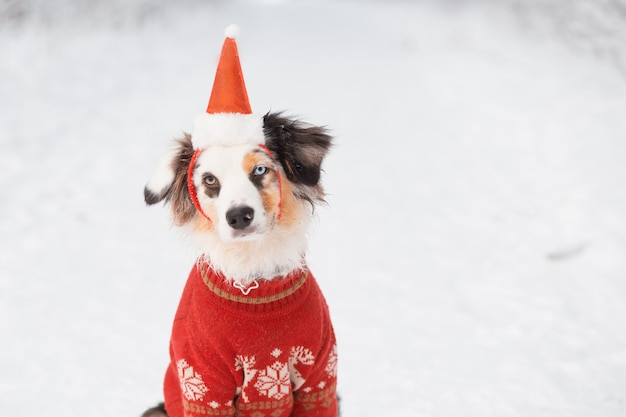 Australian shepherd sitting in santa hat and christmas sweater with gift in winter forest. close up.
