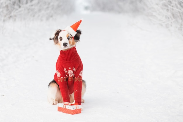 Australian shepherd sitting in santa hat and christmas sweater with gift in winter forest. creative christmas. high quality photo