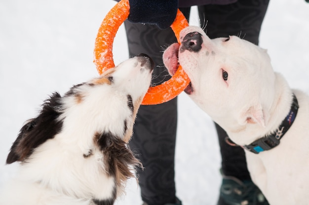 Australian shepherd sitting in with american bulldog playing with puller in winter forest. close up. high quality photo