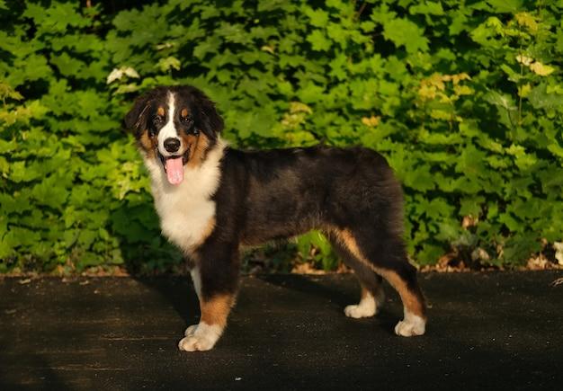 여름에 입을 벌리고 초상화를 그리는 호주 셰퍼드 3색 강아지 프리미엄 사진