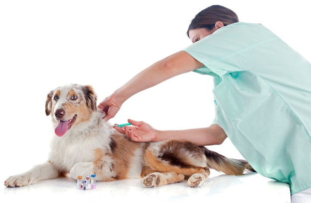 Australian shepherd and vet