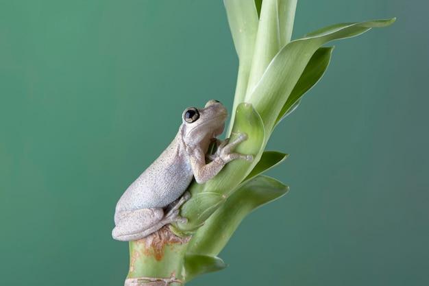 녹색 잎에 호주 나무 개구리 근접 촬영 사막 나무 개구리 근접 촬영