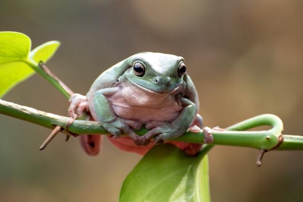 식물에 매달려 호주 백색 나무 개구리