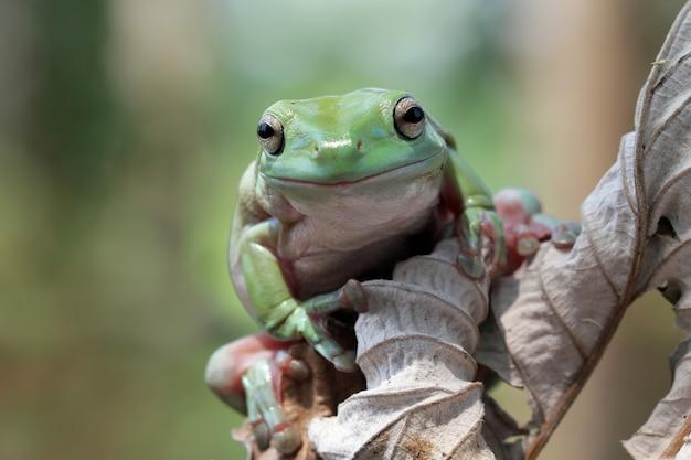 Australian white tree frog on leaves dumpy frog on branch