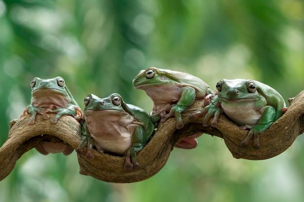 Australian white tree frog sitting on branch