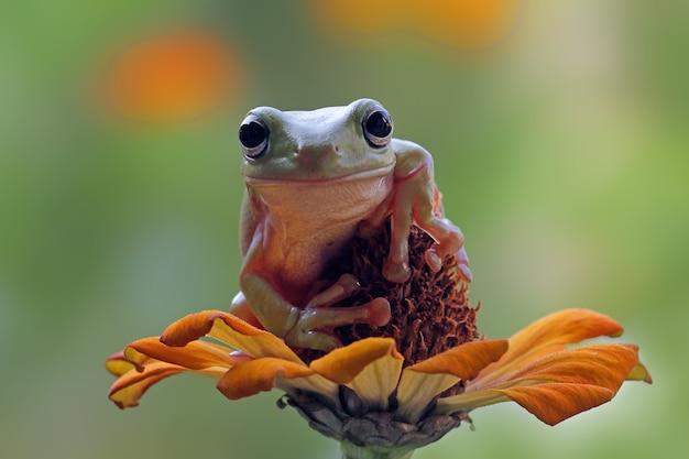 Australian white tree frog sitting on flower