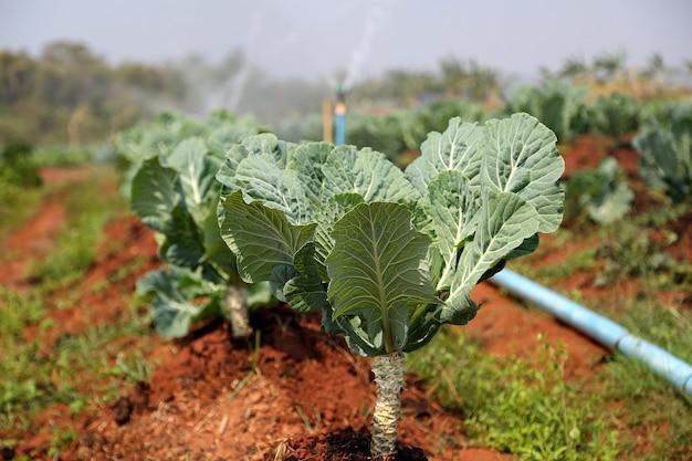 農場で育つ新鮮な緑のキャベツ野菜の列を灌漑する自動スプリンクラー
