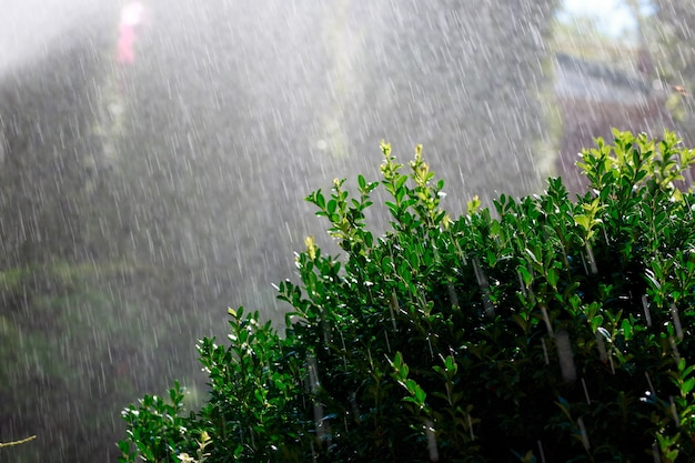 Automatic watering of the garden of a private house in the early morning, boxwood bush in the foreground.