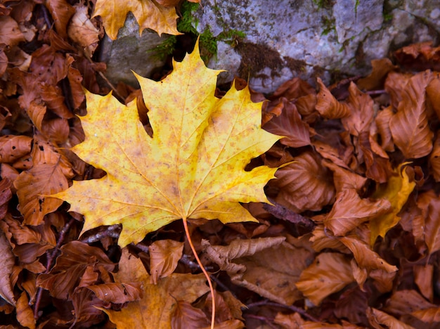 Autum alamo yellow leaf in a beech forest pyrenees ordesa