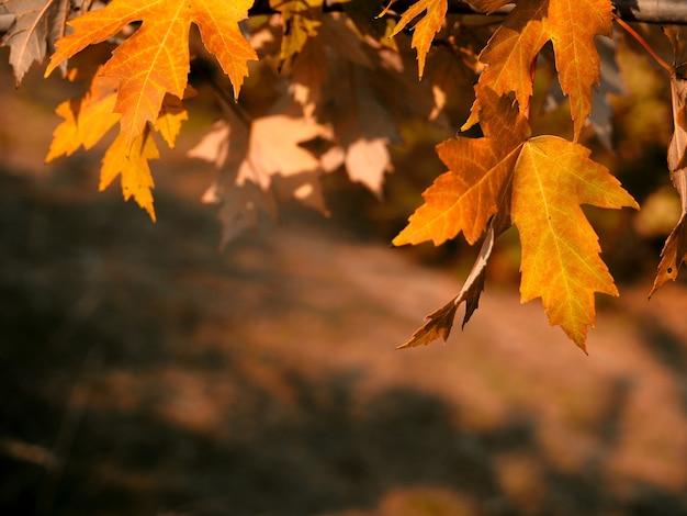 秋の要約。日没時の背景に焦点がぼけた公園とカラフルな葉。晴れた日の紅葉からの日光。