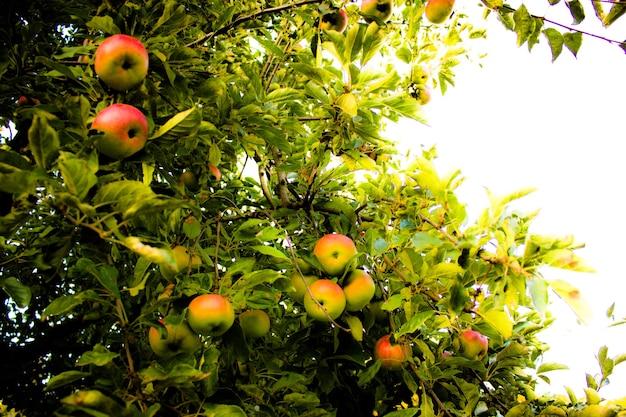 秋のりんご木の上のりんご秋の収穫秋の庭