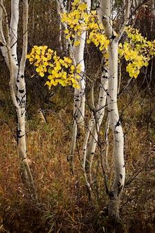 コロラド州の秋のポプラ