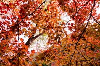 Autumn at Japan, Maple is change the color to seasonal at november and leaf lighted