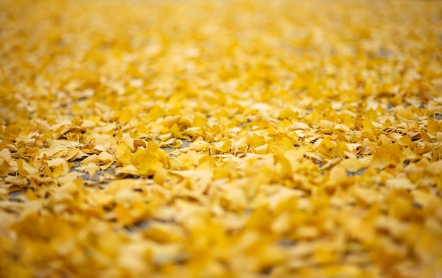 Autumn. autumn background. fallen yellow leaves in focus. close-up.