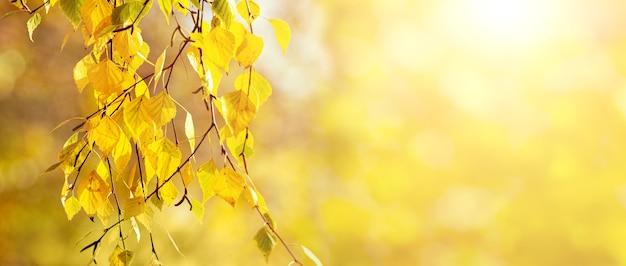 Осенний фон, баннер, с желтыми березовыми листьями на светлом размытом фоне с солнечным светом
