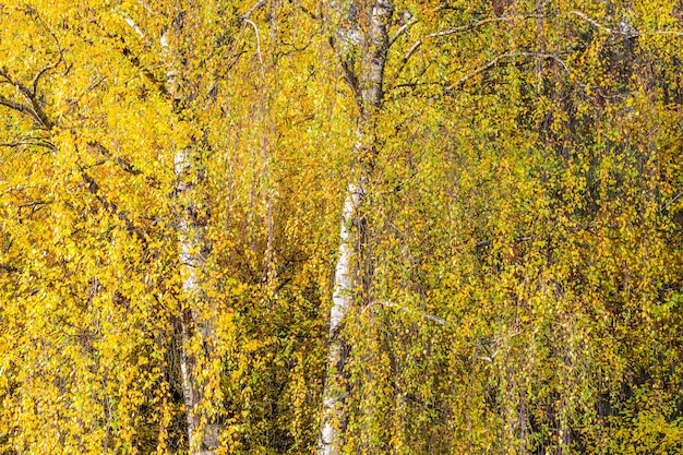 Autumn background of bright yellow leaves on birch branches