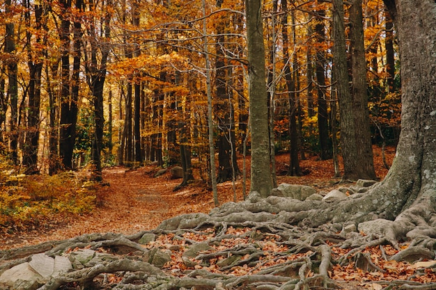 Autumn background of a colorful forest with big roots in the ground and leaves laying in the ground