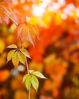 Осенний фон с красочными красными и желтыми листьями вьюнка с размытым свободным космическим солнечным лучом