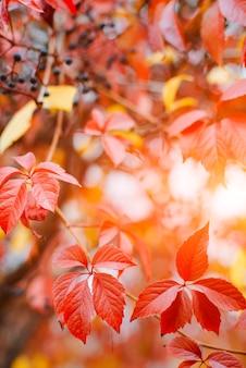 ぼやけた自由空間の太陽のまぶしさの光線とヒルガオ植物のカラフルな赤と黄色の葉と秋の背景デザイン