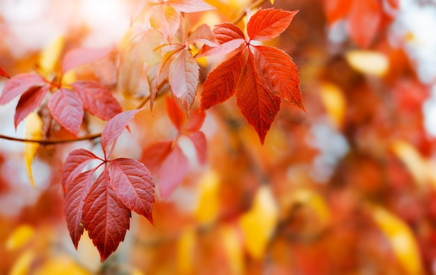 Autumn background design with colorful red and yellow leaves of the bindweed plant with blurred free space sun glare ray