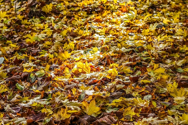 Autumn background of fallen yellow leaves in sunlight