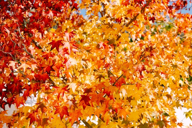 木の黄色、赤、オレンジの枝に秋の背景の燃えるようなカエデの葉
