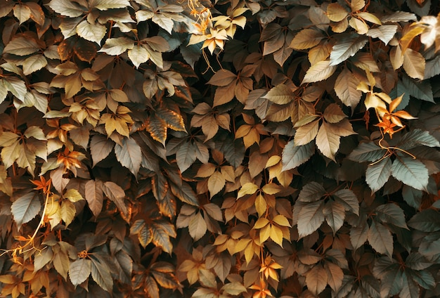Autumn background from bush leaves