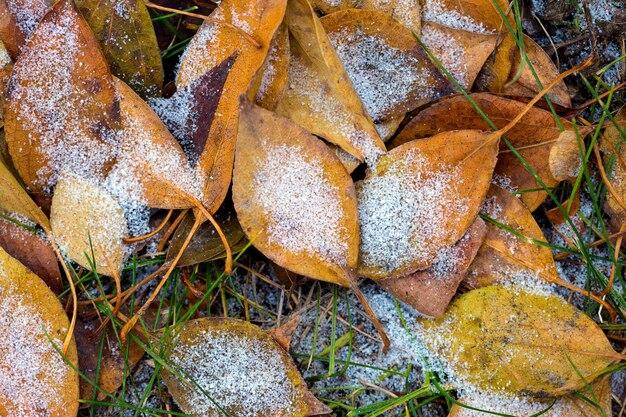 秋の背景、カエデの葉は霜で覆われています