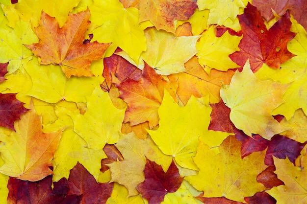 Осенний фон из красных и желтых кленовых листьев. плоская планировка, копия пространства.