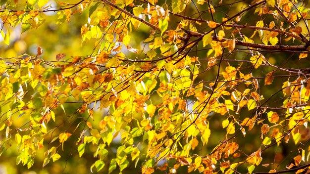 明るい日光の下で黄色の白樺の葉の秋の背景