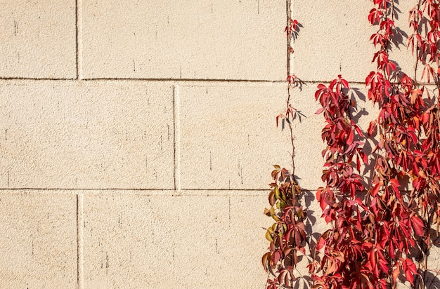Autumn background of red leaves of curly wild grape on a stone wall background