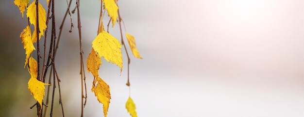 Autumn background with birch leaves on a blurred background in sunlight, panorama