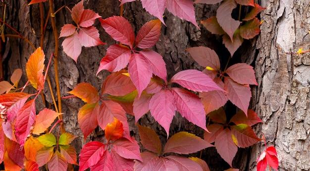 Осенний фон с ярко-красными листьями на стволе дерева