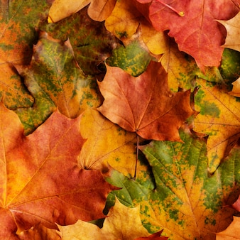 Autumn background with colored maple leaves.