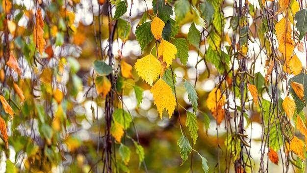 木の上のカラフルな秋の白樺の葉と秋の背景