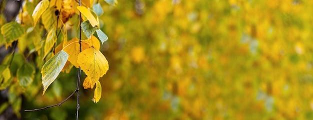 ぼやけた背景、コピースペースにカラフルな白樺の葉と秋の背景